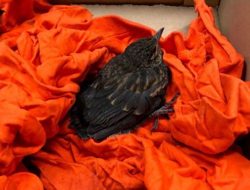 Sebesült madár fekete rigó